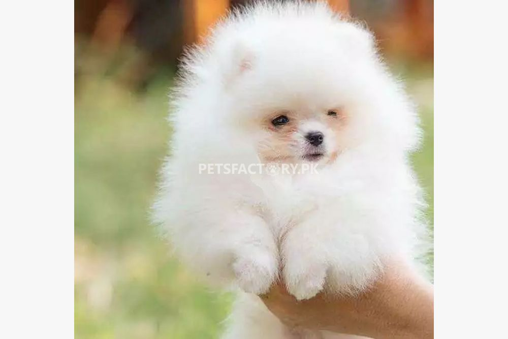 Pomeranian puppies for sale in Lahore - Pets Factory