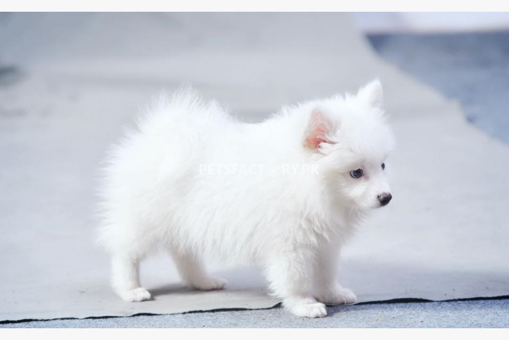Pure Pomeranian puppy FoxFace for sale in Lahore - Pets Factory