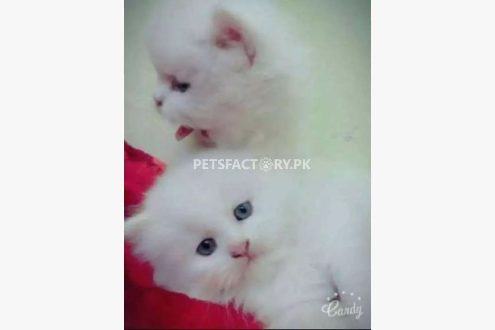Pure-persian-kittens-full-white for sale in Karachi - Pets Factory