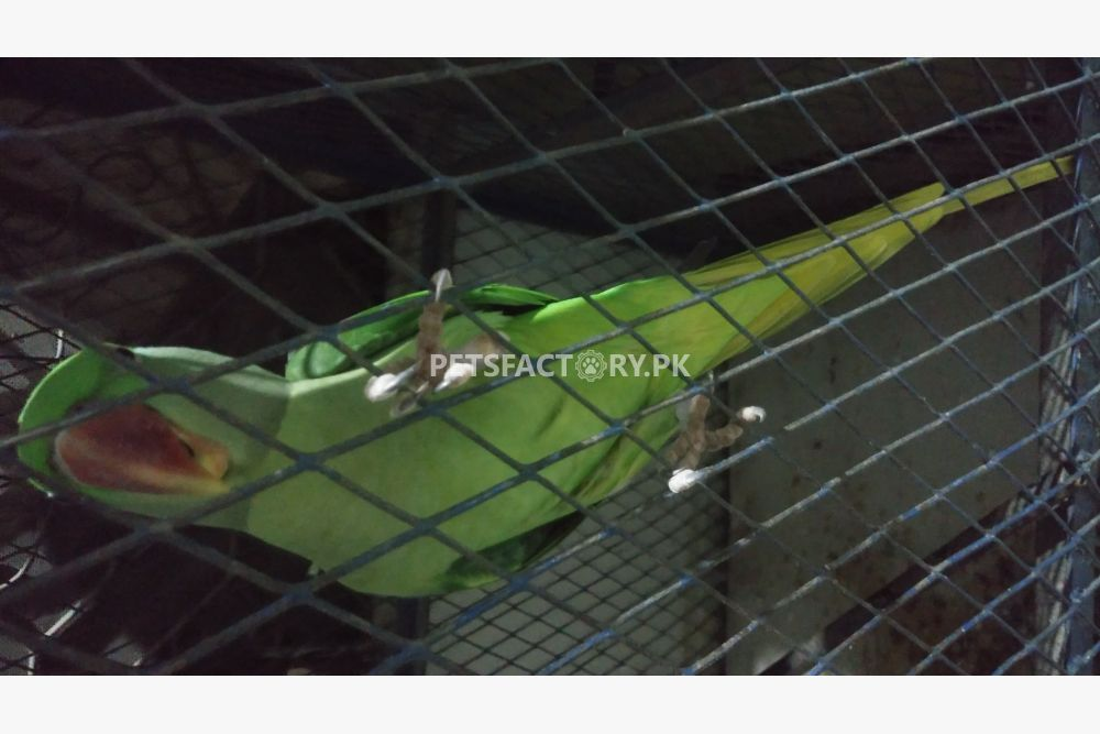 Raw female for sale in Lahore - Pets Factory