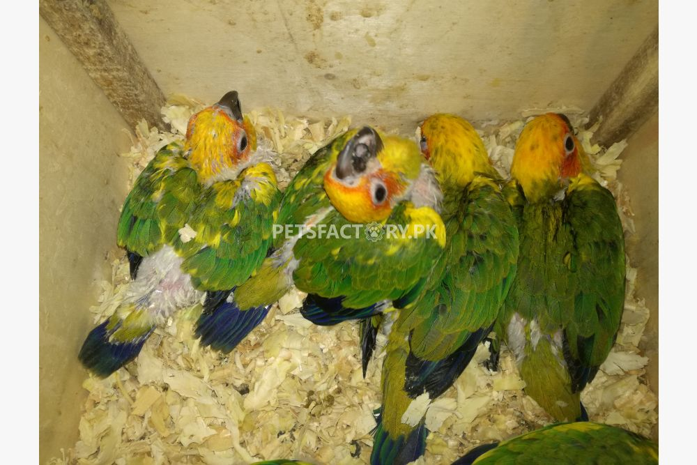 Sun conure chicks for sale in Lahore - Pets Factory