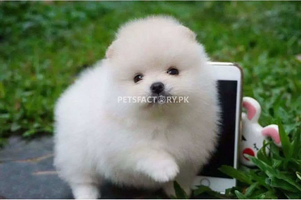 Teacup pomeranian for sale in Karachi - Pets Factory