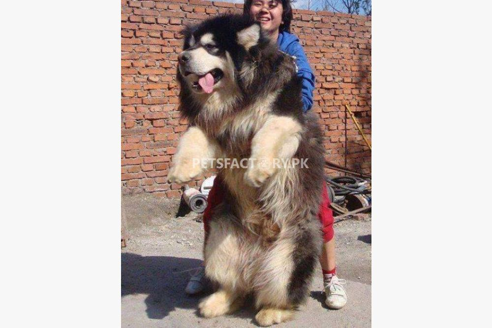 Tibetan Mastiff puppies available for sale in Lahore - Pets Factory