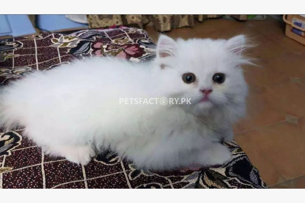 Triple coat Punch face Persian kittens for sale in Lahore - Pets Factory