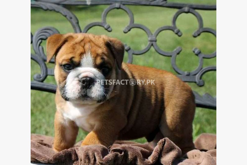 Very Powerful English Bulldog Puppies for Sale for sale in
