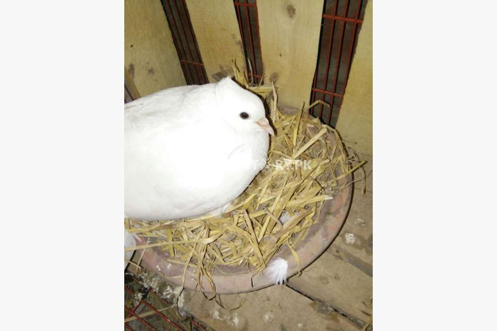 Whit Lucky kabutar with chikes for sale in Lahore - Pets Factory