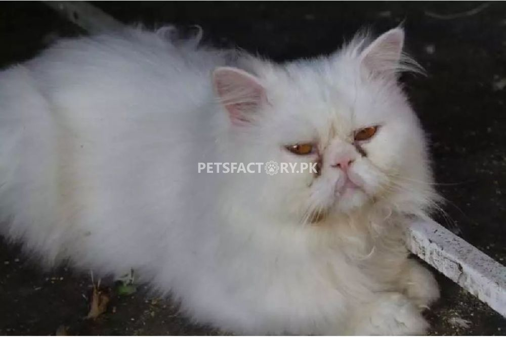 White Persian Extreme Punch male for sale in Karachi - Pets Factory