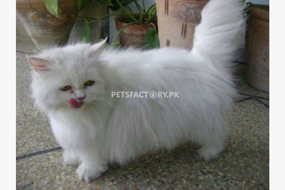 White persian punch face pregnant female for sale in Lahore - Pets
