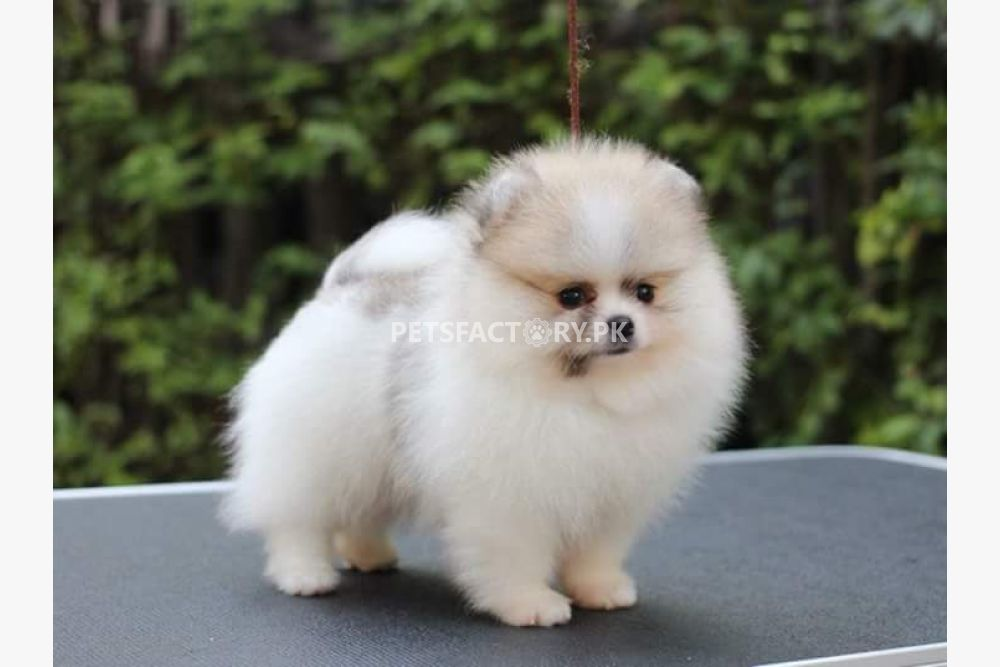 pomeranian teacup puppy or husky puppy for sale in Lahore - Pets Factory